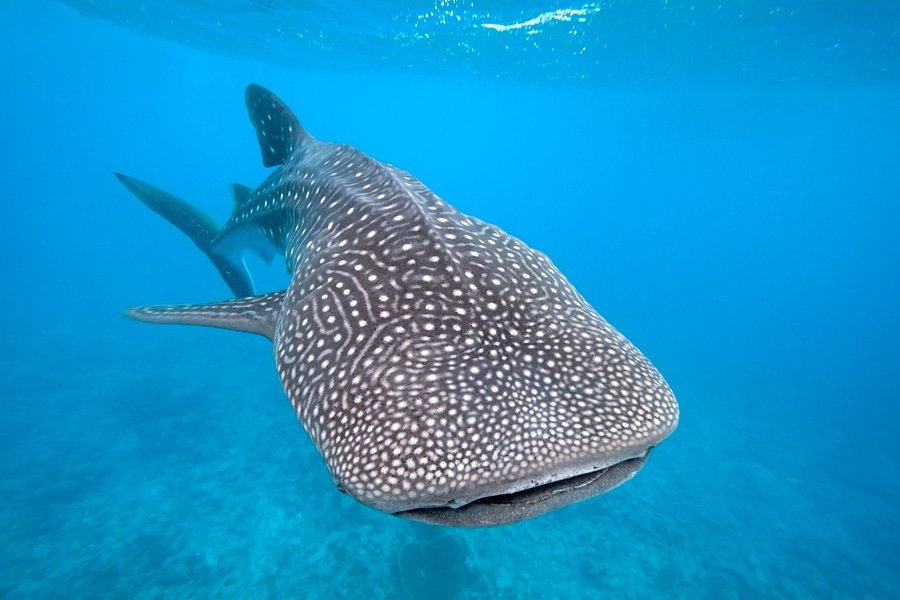 A Whale Shark in the waters of the Maldives