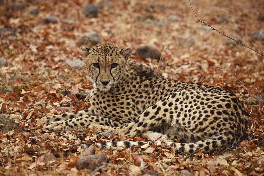 Female Cheetah in Karongwe Private Game Reserve