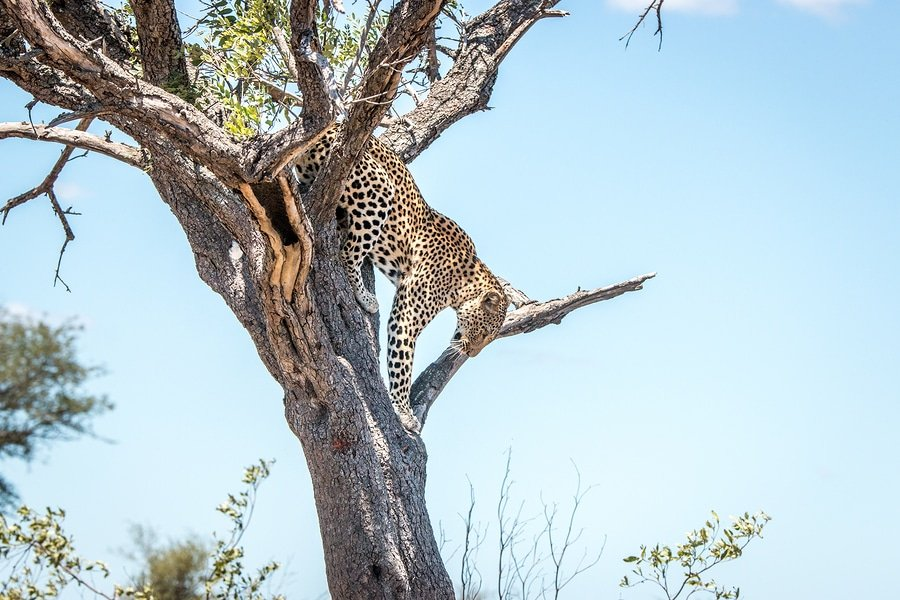 Leopard On a Tree , Kruger National Park