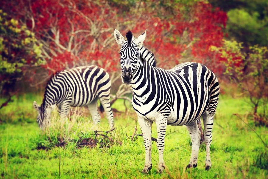 Zebras, Sabi Sands Game Reserve, South Africa