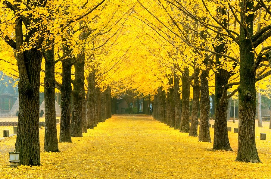 Yellow ginkgo trees, Nami Island ,South Korea
