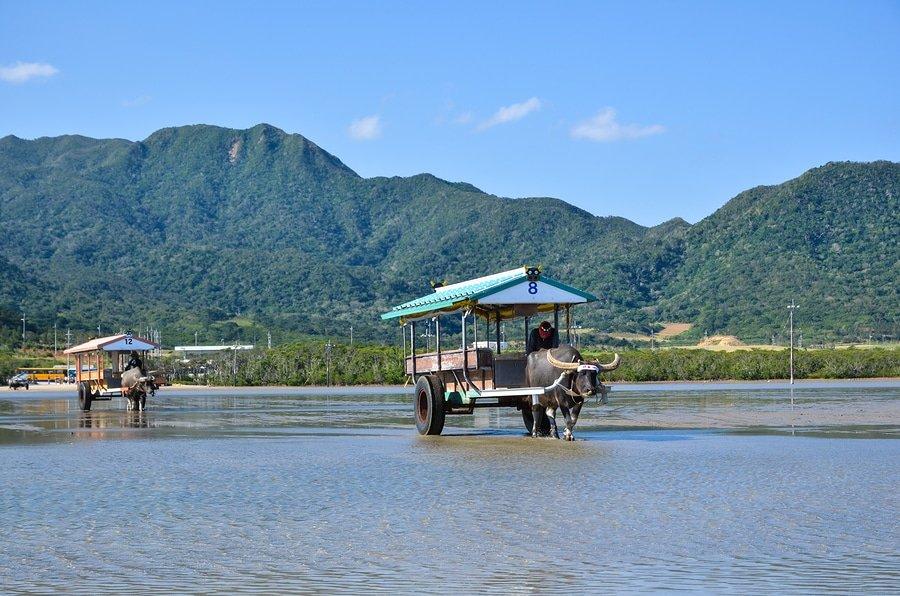 Water Buffaloe Carts, Okinawa region
