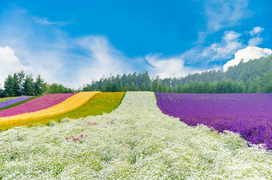 The flower fields of Hokkaido, Japan