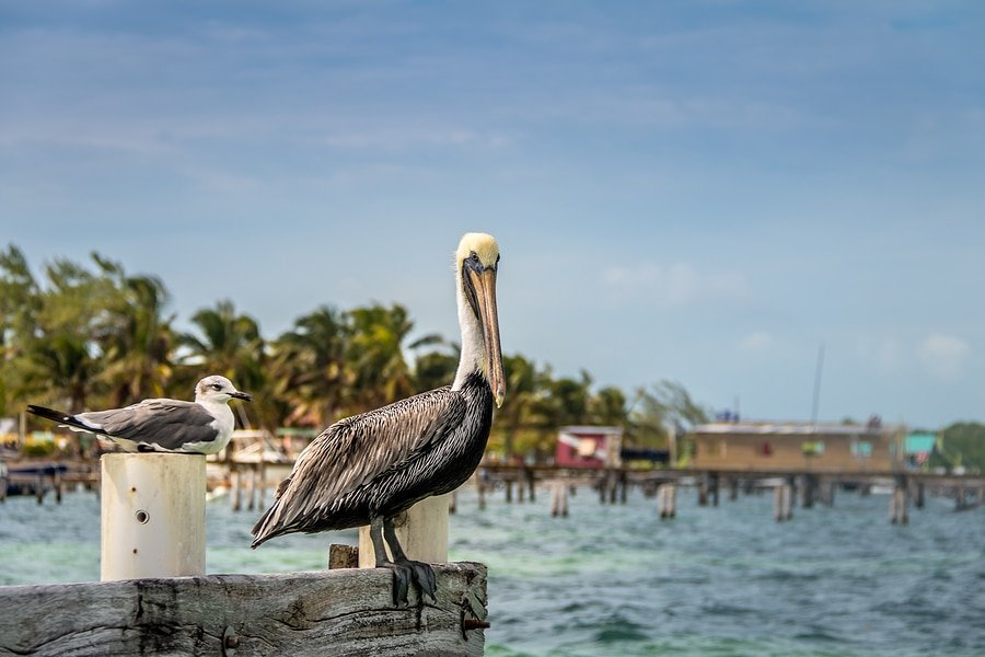 A pelican and a young laughing gull standing on a pier - Caye Caulker, Belize