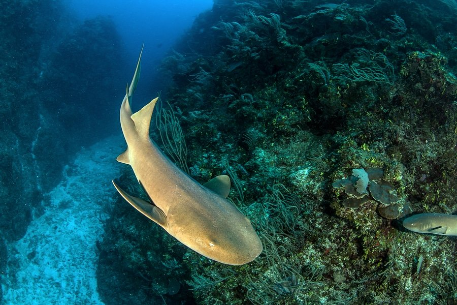 Nurse shark in the waters of San Pedro, Belize