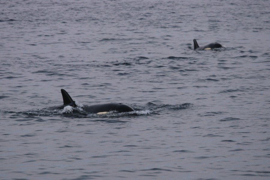 orcas, whale watching, Tromso, Norway