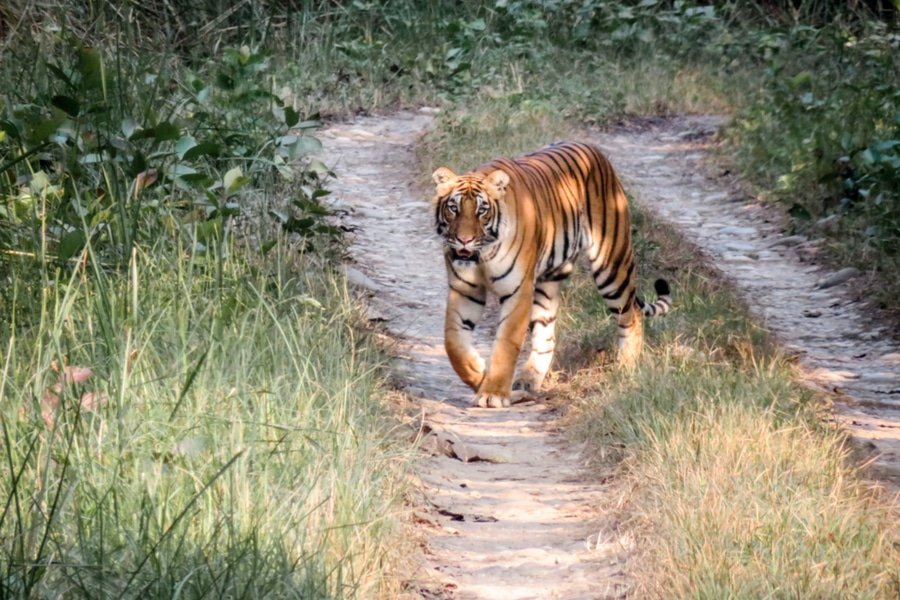 A Royal Bengal Tiger in Chitwan National Park