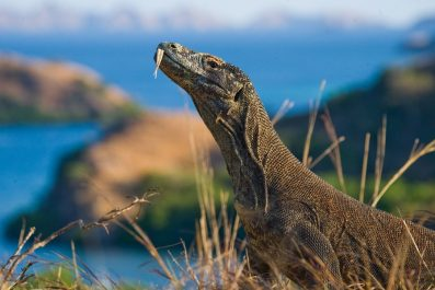 Komodo dragon, Komodo National Park, Indonesia