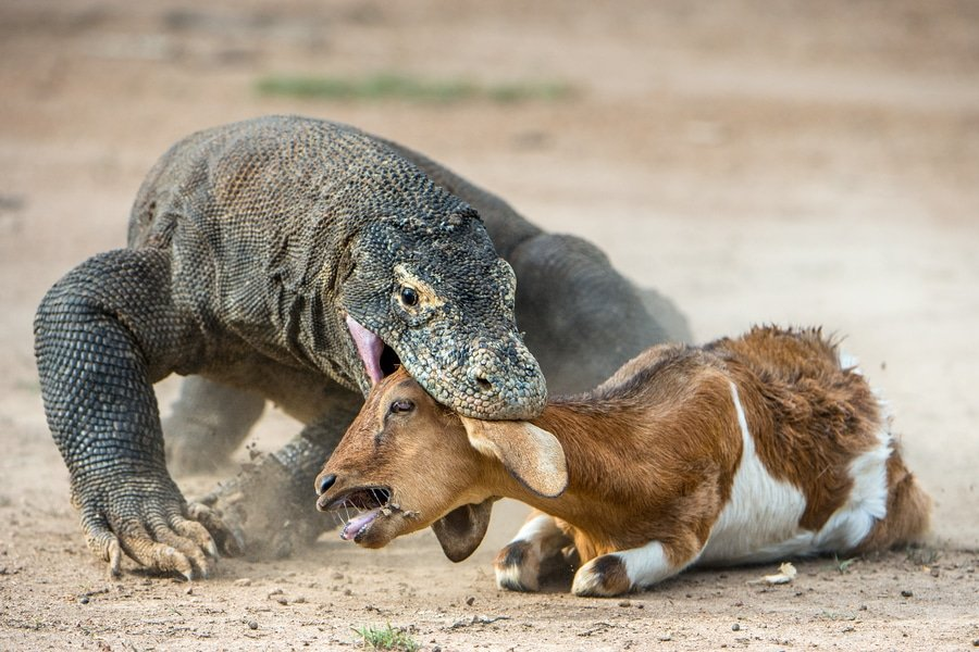 Komodo dragon attack, Rinca Island, Indonesia