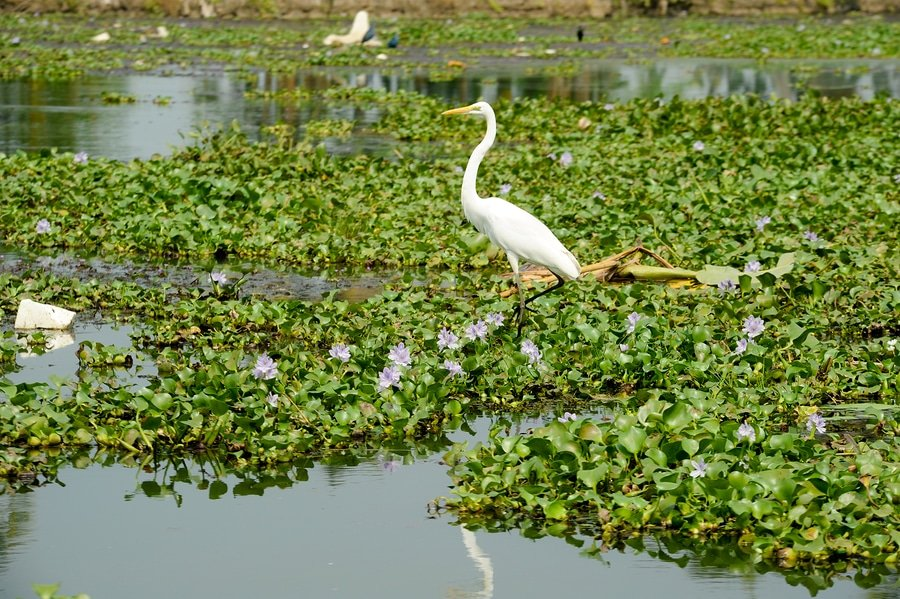 Great white egret on the backwaters near Alleppey, Kerala, India