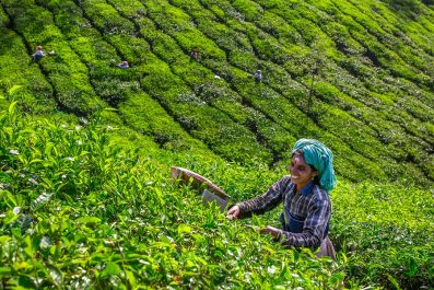 Tea plantation near Munnar, Kerala, India
