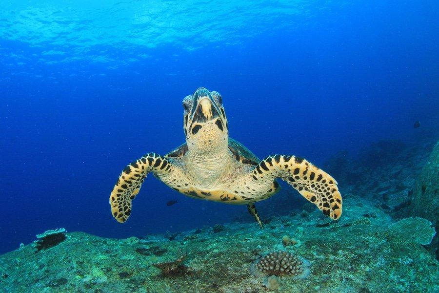 Hawksbill sea turtles, Philippines