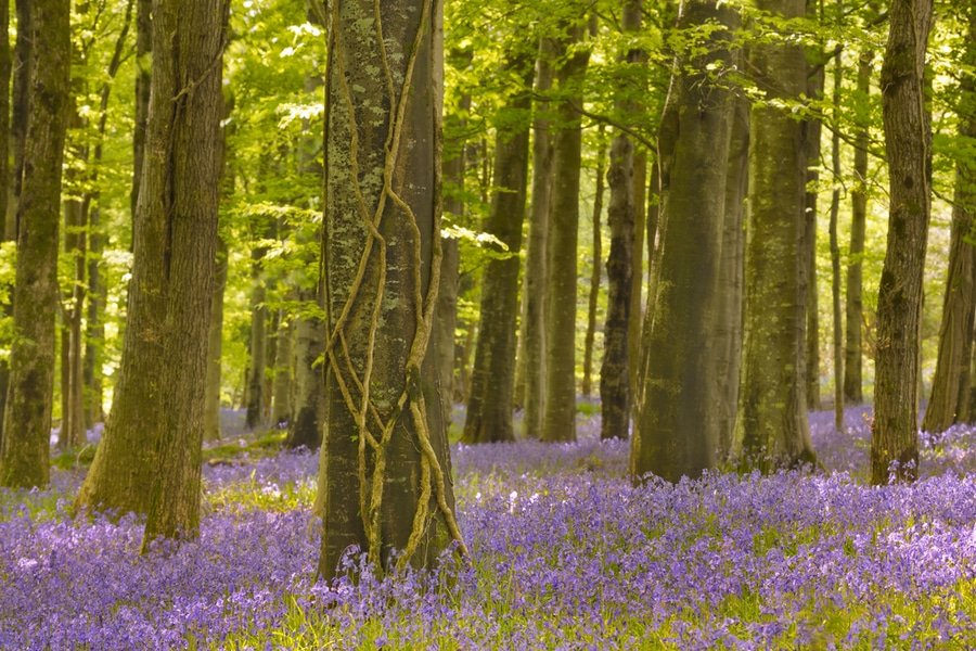 Blooming bluebells in Tollymore Forest Park, Northern Ireland