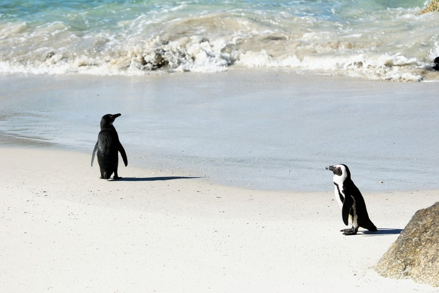 A couple of penguins at Boulders Beach, Cape Town, South Africa