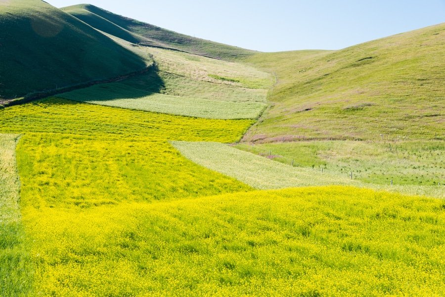 rapeseed flowers, Qilian Mountains, China