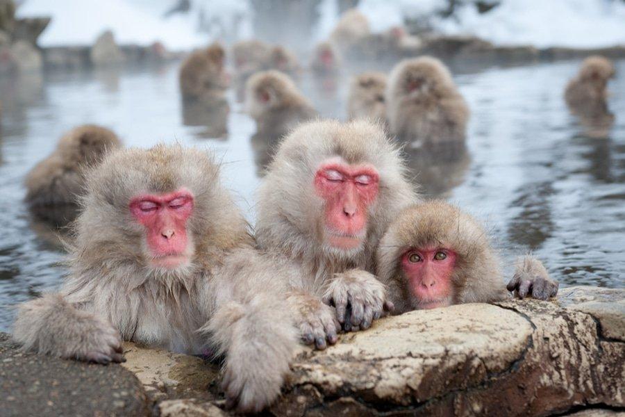 Jigokudani Monkey Park, Nagano, Japan