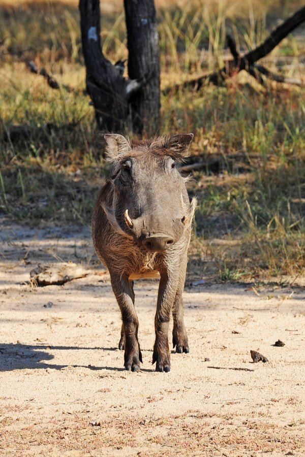 African wild boar in Mosi-Oa-Tunya National Park (littlewormy / Shutterstock.com)
