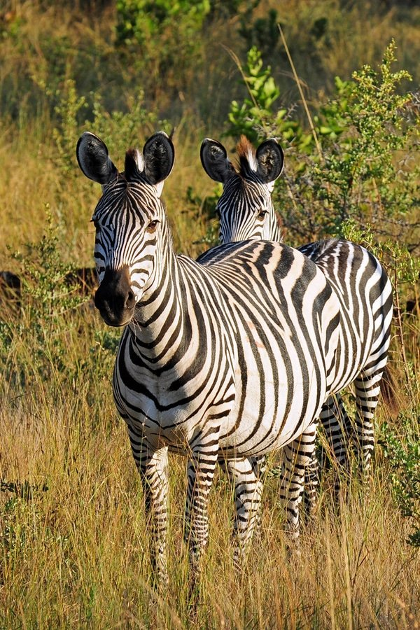 Burchell's Zebra (Equus quagga burchelli) in Mosi-Oa-Tunya National Park (littlewormy / Shutterstock.com)