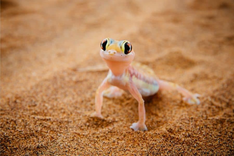 gecko, Swakopmund, Namibia