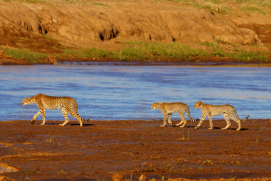 Cheetahs, Samburu National Reserve, Kenya