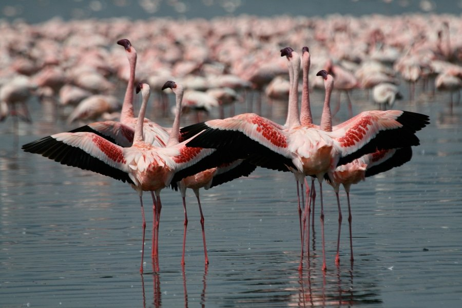 Lesser Pink Flamingos, Nakuru Park, Kenya