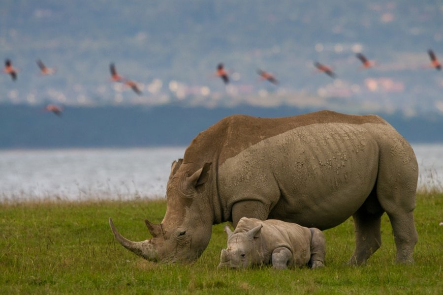 Rhinos, Lake Nakuru National Park, Kenya