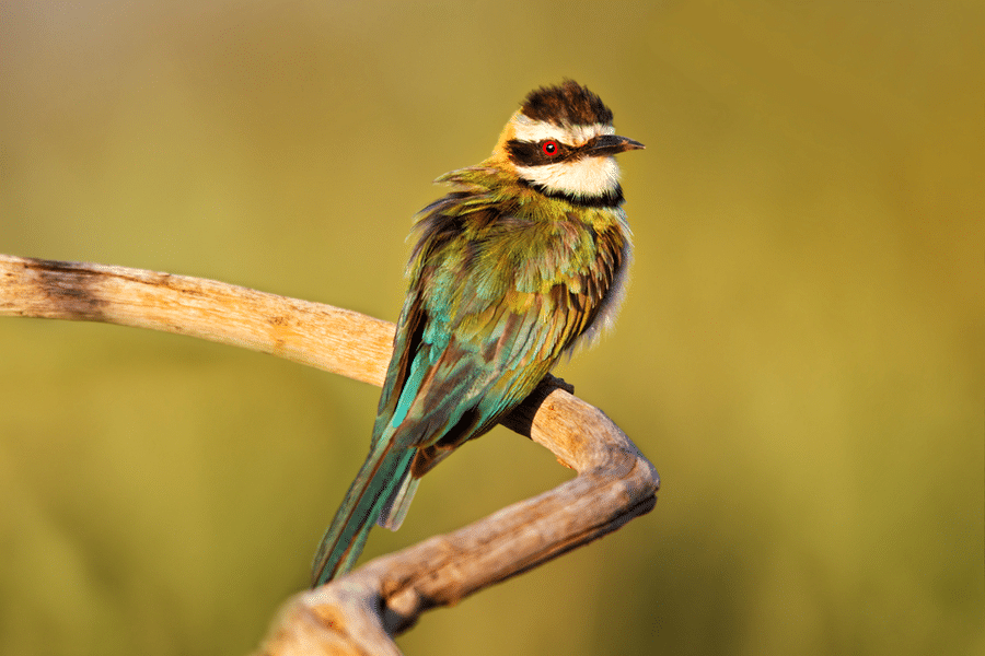 Somali bee-eater, Samburi National Park, Kenya