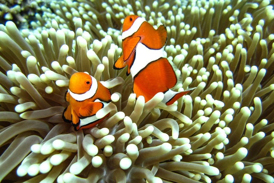 Clown fish, Great Barrier Reef, Cairns, Australia