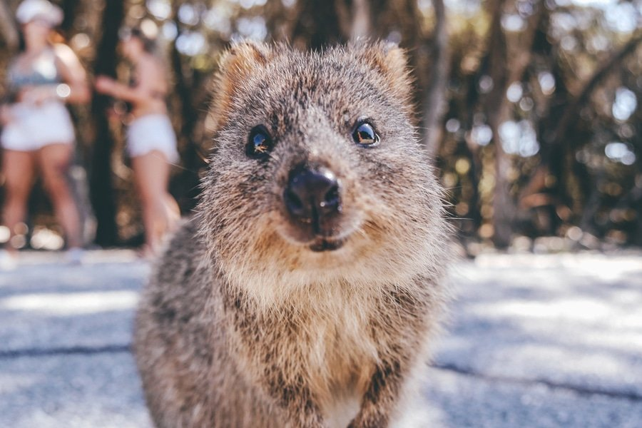 Quokka on Rottnest Island, Perth, Australia