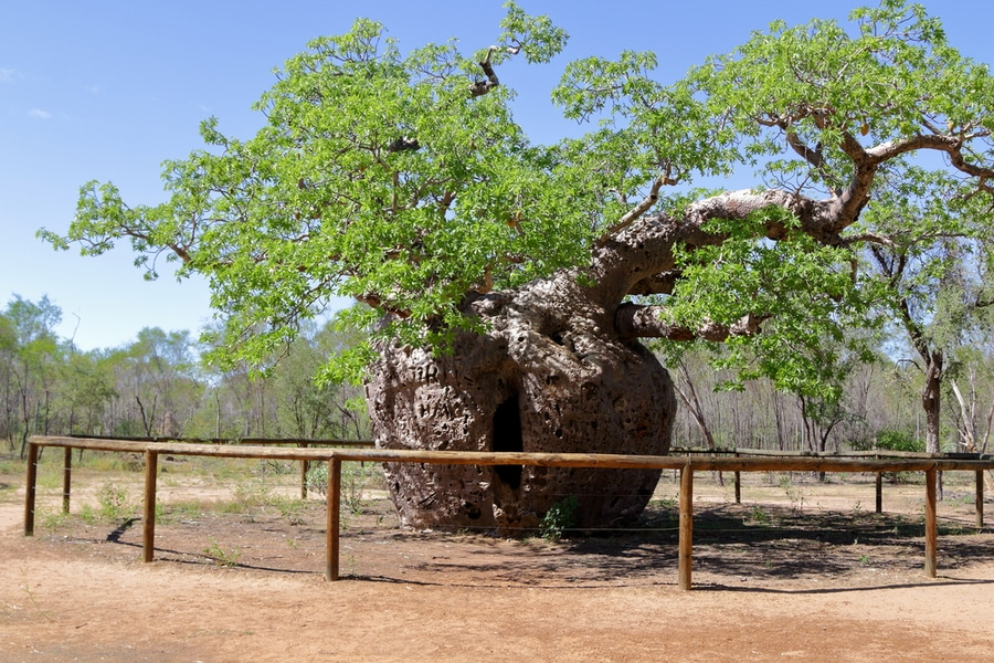 Boab Prison Tree, Derby, Australia