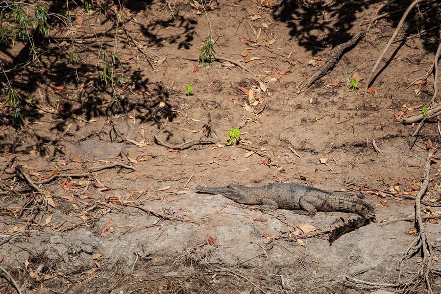 Freshwater crocodile, Geikie Gorge, Australia