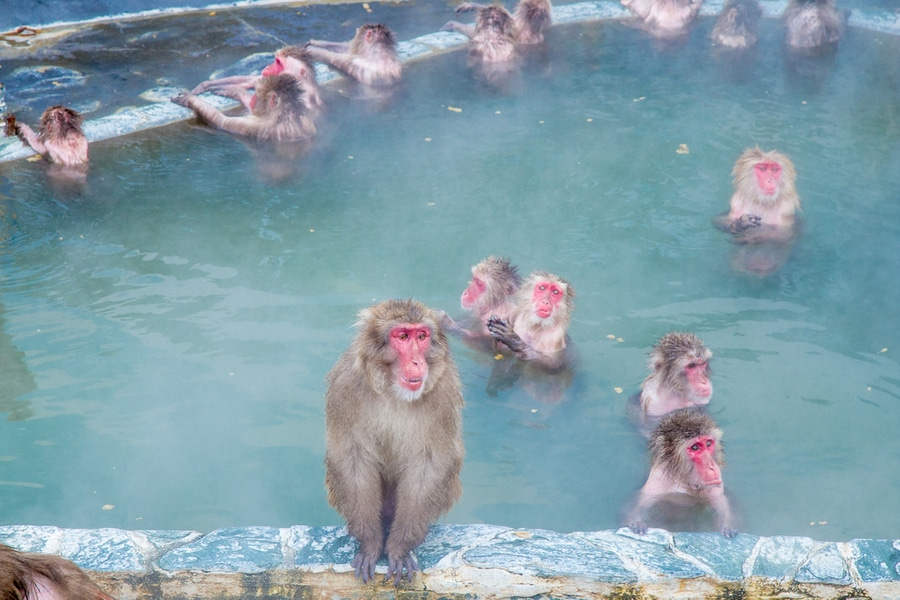 Snow Monkey in the Monkey Spa at Yunokawa Onsen, Hakodate, Japan