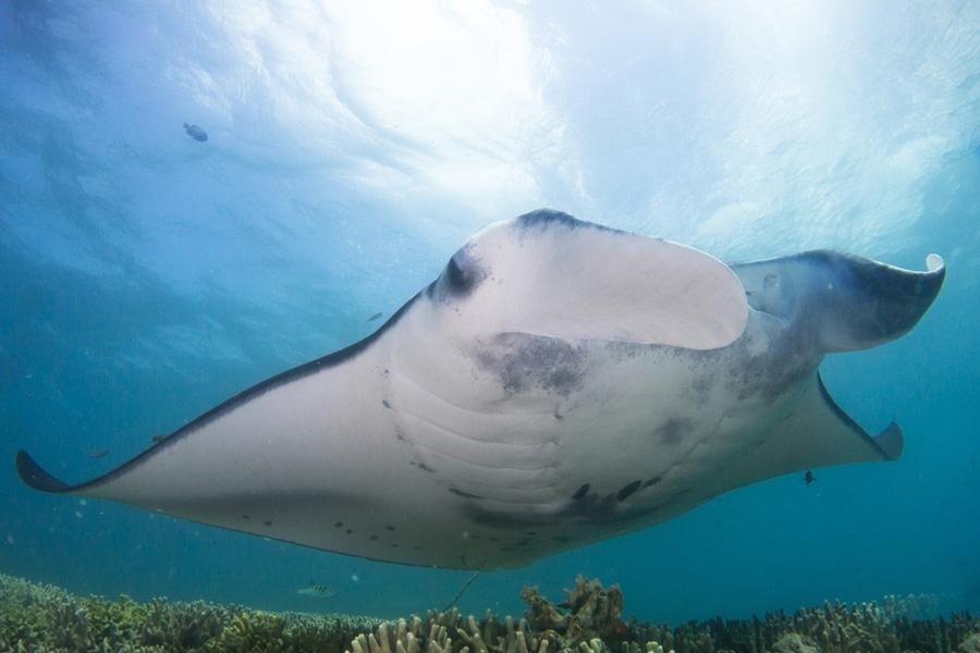 Manta ray, Yap Island, Micronesia