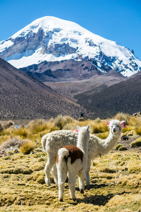 Lamas in Sajama National Park, Bolivia