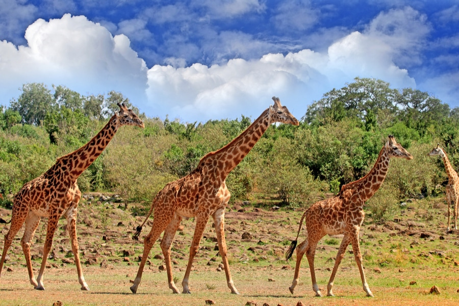 Giraffes in the open plains of South Luangwa National Park, Zambia