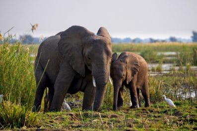 elephants, zambia
