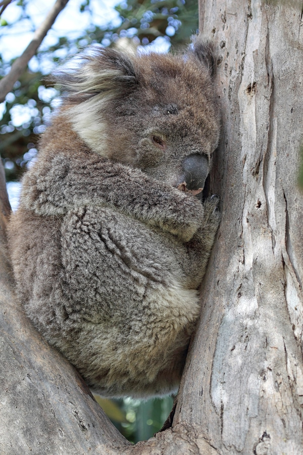 Koala in Kennett River, Great Ocean Road, Australia