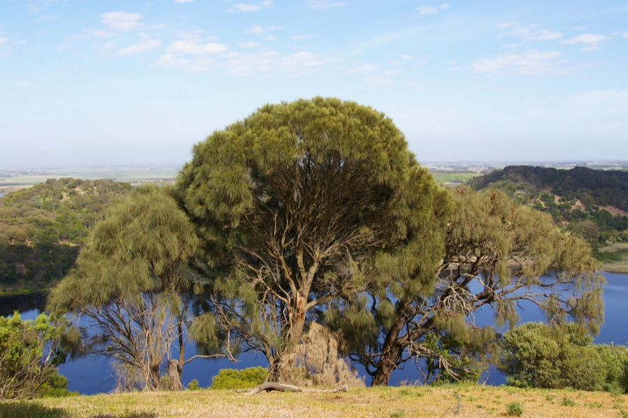 Sheoak trees, Tower Hill Wildlife Reserve, Australia